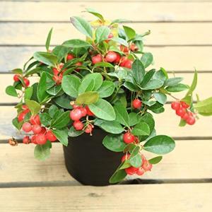 観葉 鉢植え 大実ゴールテリア:チェッカーベリー(ヒメコウジ 姫柑子)*5号 y-bonsai