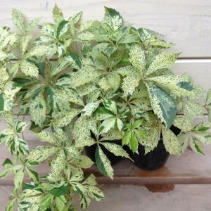 カラーリーフ苗:アメリカヅタ(バージニアヅタ)斑入り*2個セット 冬季落葉しています y-bonsai