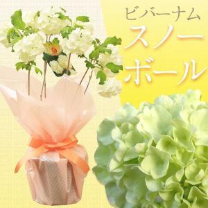 """鉢花:ビバーナム """"スノーボール""""*5号 201...の商品画像"""