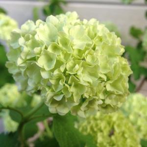 遅れてごめんね 母の日ギフト:鉢花:ビバーナム...の詳細画像1