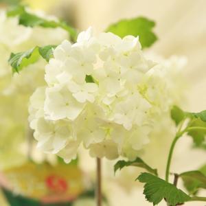 遅れてごめんね 母の日ギフト:鉢花:ビバーナム...の詳細画像2