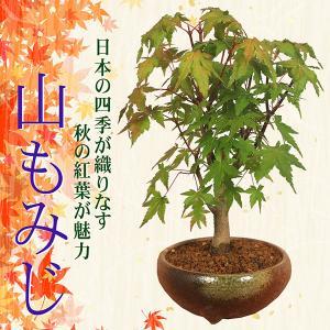 即日出荷可 父の日ギフト 小品盆栽:山もみじ(瀬戸焼小鉢)*...