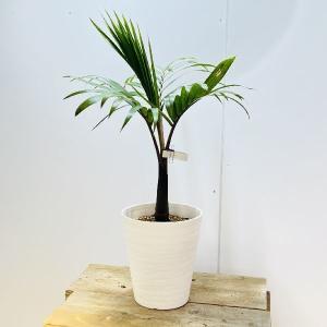観葉植物・希少:トックリヤシ(徳利椰子)* y-bonsai