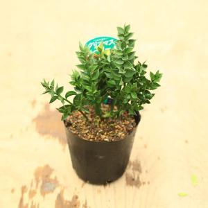 観葉 グラウンドカバー 生垣用:ナギイカダ(ルスカス)*クリスマスベリー y-bonsai