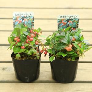 果樹 観葉:大実ゴールテリア チェッカーベリー*(ヒメコウジ 姫柑子)2個セット y-bonsai