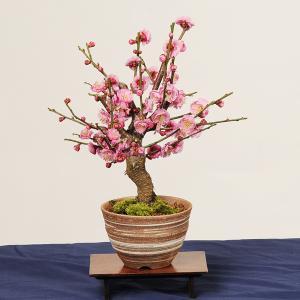 小品盆栽:紅梅(信楽焼小鉢)*2019年開花終了|y-bonsai