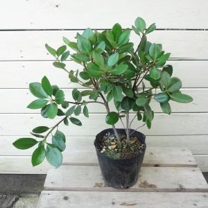生垣などにおすすめ 庭木・植木:マルバシャリンバイ(丸葉車輪梅)*5号|y-bonsai