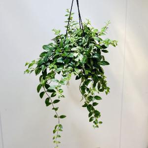 観葉植物 おしゃれ:斑入りエスキナンサス *吊り鉢 SALE|y-bonsai