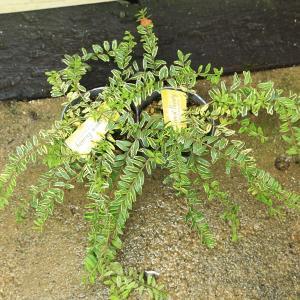 苗:ロニセラ・レモンビューティー*2個セット y-bonsai