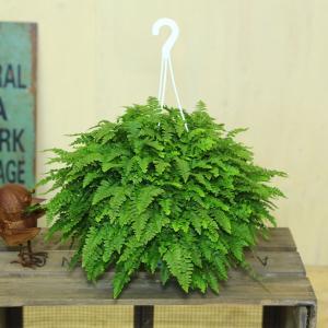観葉植物:ネフロレピス(タマシダ)ボストンファーン*吊り鉢|y-bonsai