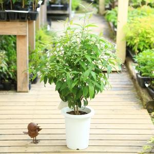 観葉植物 ハーブ 鉢花:レモンマートル*7号|y-bonsai