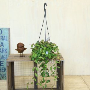 観葉植物 おしゃれ:ホヤ ピラパータ*吊り鉢|y-bonsai