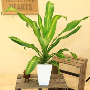 観葉植物:ドラセナ バーリー*鉢色選べます