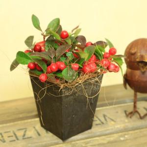 観葉 鉢植え 大実ゴールテリア:チェッカーベリー(ヒメコウジ 姫柑子)*エコポット ヤシ y-bonsai