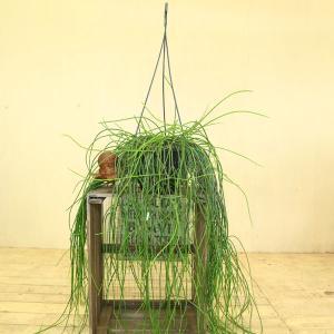 観葉植物 おしゃれ 多肉植物:リプサリス・スティッキリー*吊り鉢 SALE|y-bonsai
