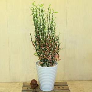 観葉植物 多肉植物:ダイギンリュウ*(ペディランサス) 陶器鉢 y-bonsai