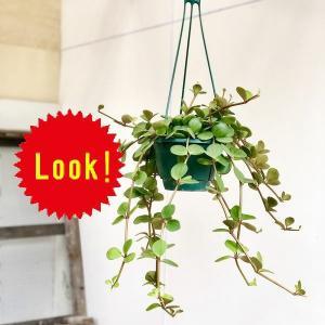 観葉植物 おしゃれ:ペペロミア ホープ*吊り鉢|y-bonsai