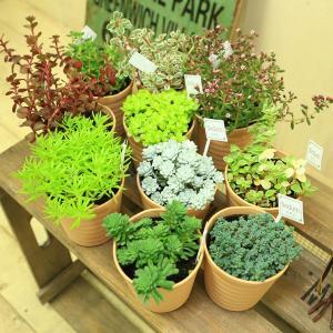 多肉植物 観葉植物:福袋セダム5個セット* y-bonsai
