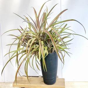訳あり 観葉植物 希少植物:ブロメリア アナナス*現品 コルチナブラック 大型ヤマト便|y-bonsai