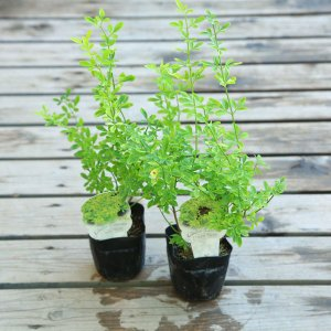 苗:キソケイ 黄素馨*2個セット y-bonsai
