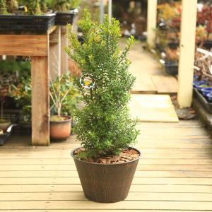 魔除けの木 観葉植物 おしゃれ 鉢植え:姫ひいらぎ*ウッドチップ|y-bonsai