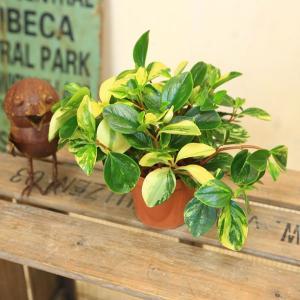 観葉植物 おしゃれ:ペペロミア グラベラ プラポット*2個セット y-bonsai