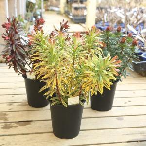 ユーフォルビア*パープレア マーティニー ゴールデンレインボー 剪定してのお届け y-bonsai