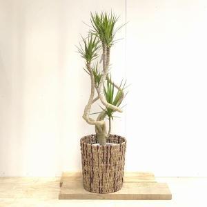 おしゃれ 観葉植物:ドラセナ コンシンネ 龍*天然素材カゴ付き SALE|y-bonsai