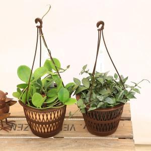 観葉植物 おしゃれ 多肉植物:ホヤ オーストラリス ラクノーサ*吊り鉢|y-bonsai