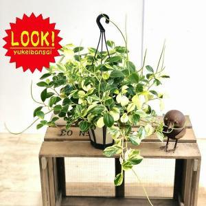 観葉植物 おしゃれ:ペペロミア グラベラ*吊り鉢|y-bonsai