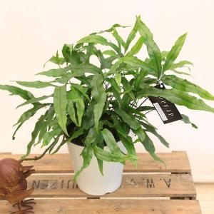観葉植物 おしゃれ:シダ植物 ミクロソリウム ディベルシフォリウム*カンガルーファーン プラポット y-bonsai
