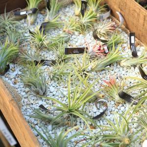 観葉植物 おしゃれ:チランジア エアープランツ*3種セット|y-bonsai