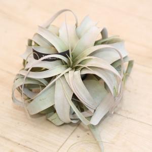 観葉植物 おしゃれ:チランジア キセログラフィカ M*エアープランツ|y-bonsai