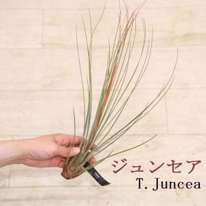 観葉植物 おしゃれ:チランジア エアープランツ*品種お選びください。|y-bonsai