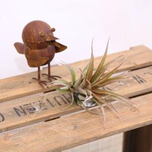 観葉植物 おしゃれ:チランジア エアープランツ カピタータ*レッドとサーモンお選びください。|y-bonsai