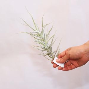 観葉植物 おしゃれ:チランジア パレアセア LL*エアープランツ|y-bonsai