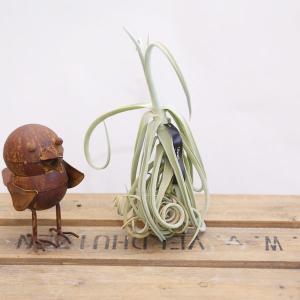 観葉植物 おしゃれ:チランジア ドゥラティ*エアープランツ|y-bonsai