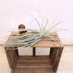観葉植物 おしゃれ:チランジア ストラミネア*エアープランツ|y-bonsai