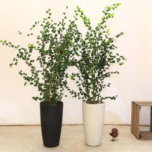 おしゃれ 観葉植物:バロック フィカスベンジャミン(ベンジャミナ)*コルチナ 大型ヤマト便 ココヤシ飾り SALE|y-bonsai
