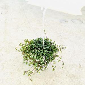 観葉植物:ピレア グラウカ*Pilea アサバソウ 吊り鉢|y-bonsai