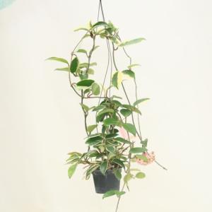観葉植物:ホヤ カルノーサ アルボマルギナータ*3.5号吊り鉢|y-bonsai