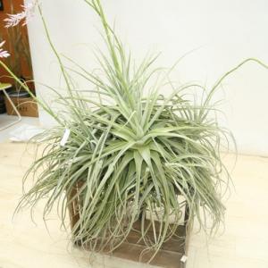 観葉植物:チランジア ストラミネア*XXXL 大型ヤマト便配送 エアープランツ|y-bonsai