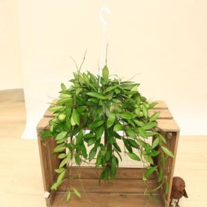 観葉植物:ホヤ デビットクミンギー*吊り鉢|y-bonsai