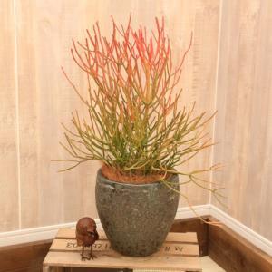 [商品情報]オブジェの様な絵になる植物。 ミルクブッシュ スティックオブファイヤーは季節により幹が赤...