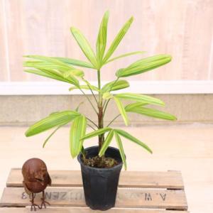 観葉植物 観音竹 カンノンチク 綾錦*アヤニシキ y-bonsai