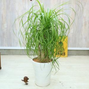 おしゃれ 観葉植物:ポニーテール トックリラン ノリナ*ク陶器鉢 受皿付 佐川大型配送 現品 SALE|y-bonsai