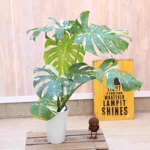 観葉植物:斑入りモンステラ*6号 プラポット|y-bonsai