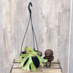 おしゃれ 観葉植物:コウモリラン リドコロ ビカクシダ・キッチャクード*吊り|y-bonsai