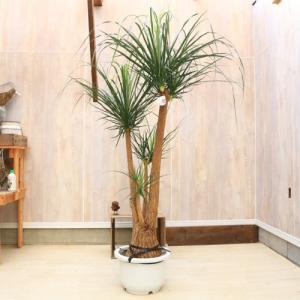おしゃれ 観葉植物:ポニーテール 現品*トックリラン 大型 佐川急便 SALE|y-bonsai