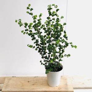 観葉植物:フィカスベンジャミン ベンジャミナバロック*プラポット y-bonsai